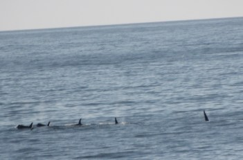 A pod of orcas was amidst the whale extravaganza!