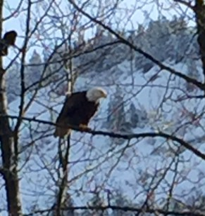 Bald eagles (not just Qanuk!) are a common sight around Juneau