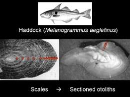 Diagram of a haddock otolith