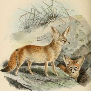 FOX-public domain-Keulemans_Fennec
