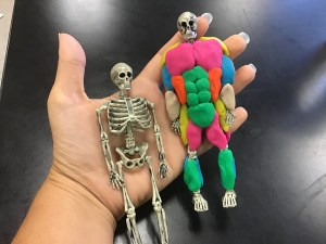 Teach the Major Muscle Groups using play doh and little skeletons