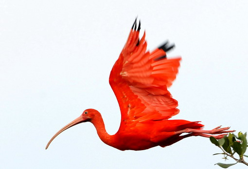 "James Hurst's ""The Scarlet Ibis"""