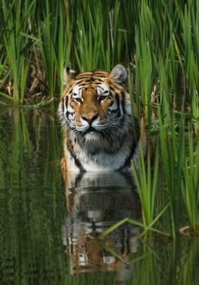 RAINFOREST TIGER