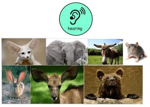 hearing animals