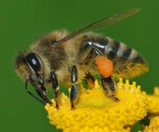 honey bee with pollen sac