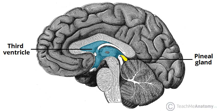 Image result for pineal gland structure