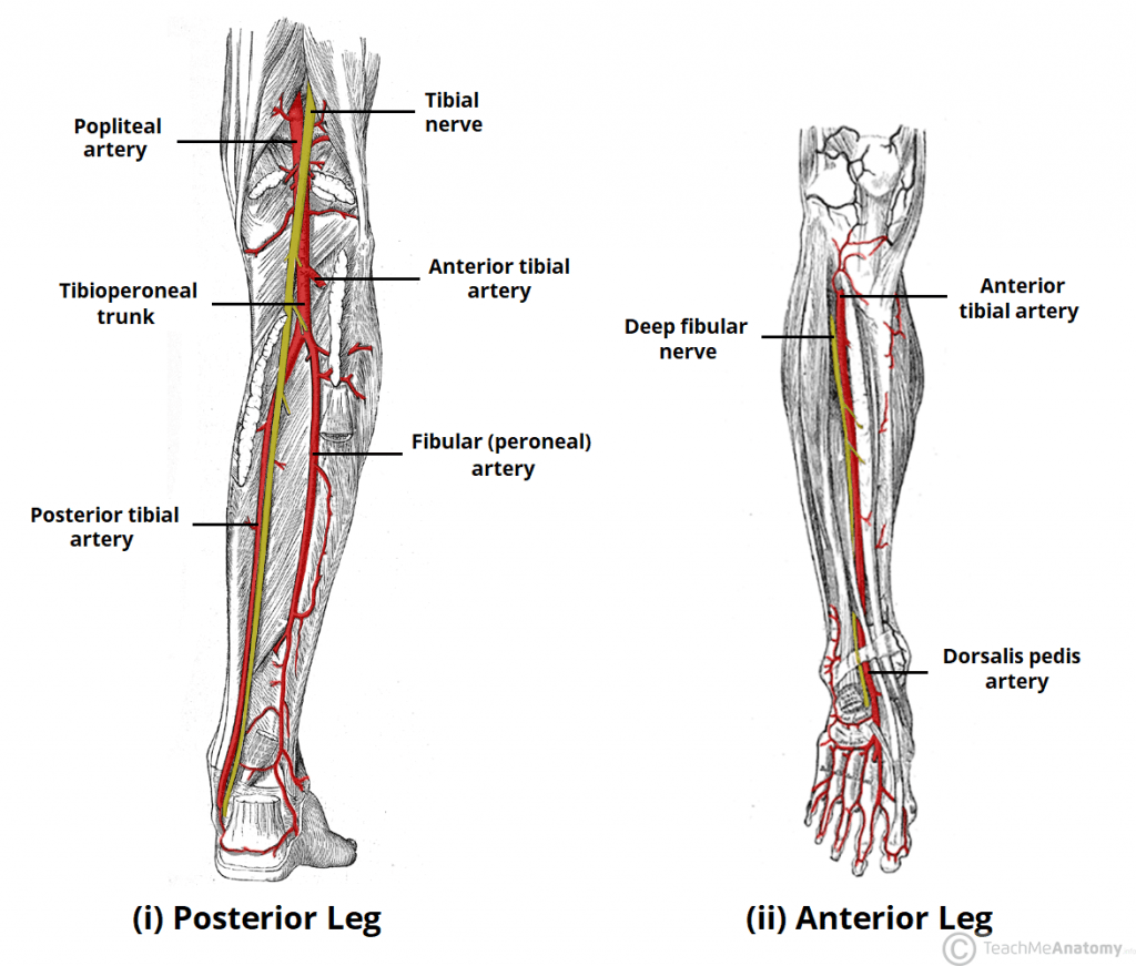 Arteries Of The Lower Limb