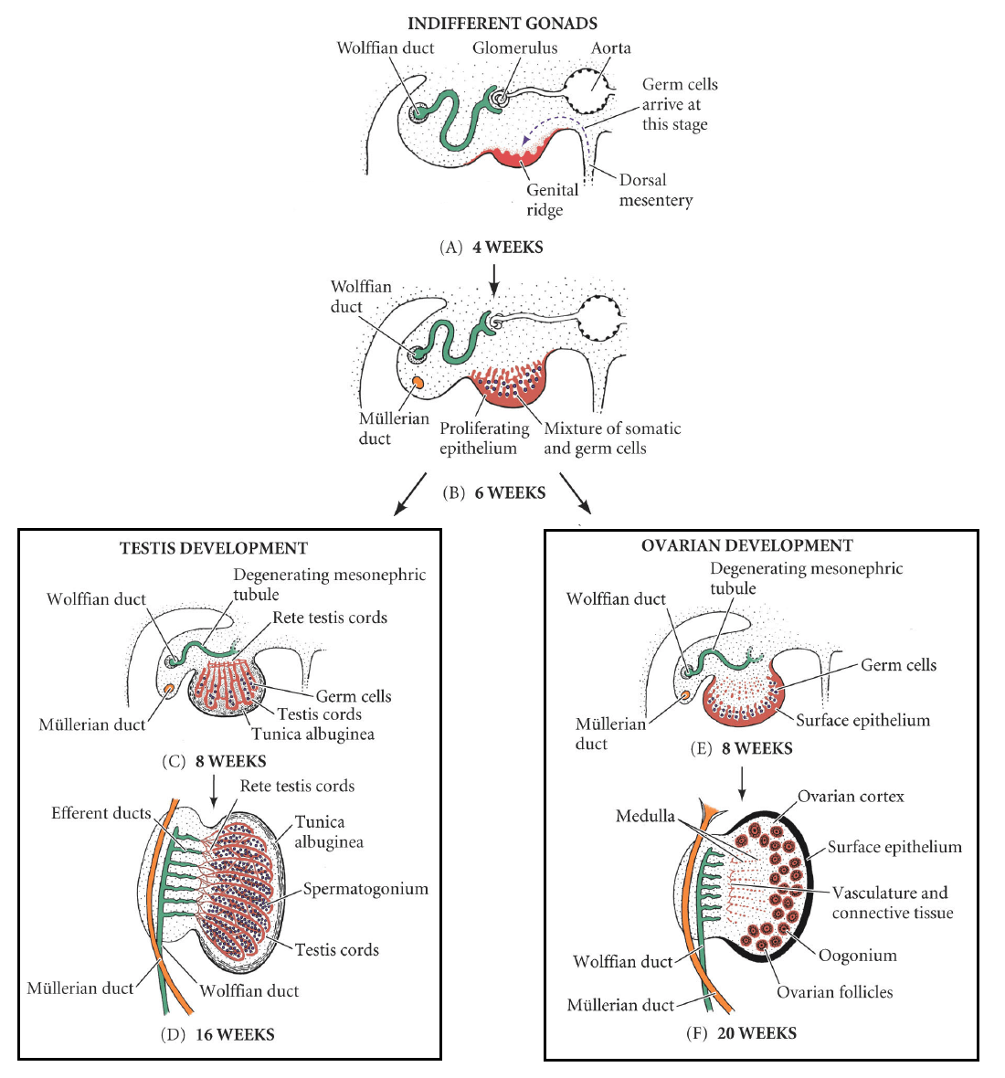 Development Of The Reproductive System