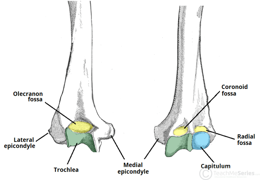 The Humerus - Proximal - Shaft - Distal - TeachMeAnatomy