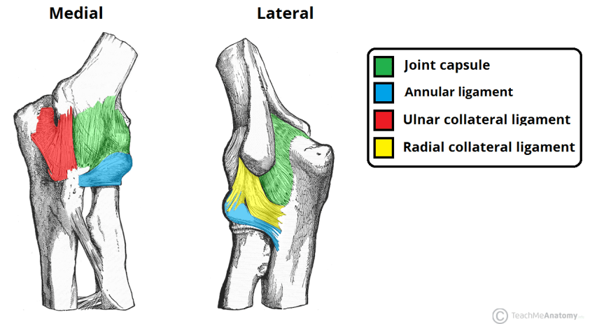 The Elbow Joint - Structure - Movement - TeachMeAnatomy