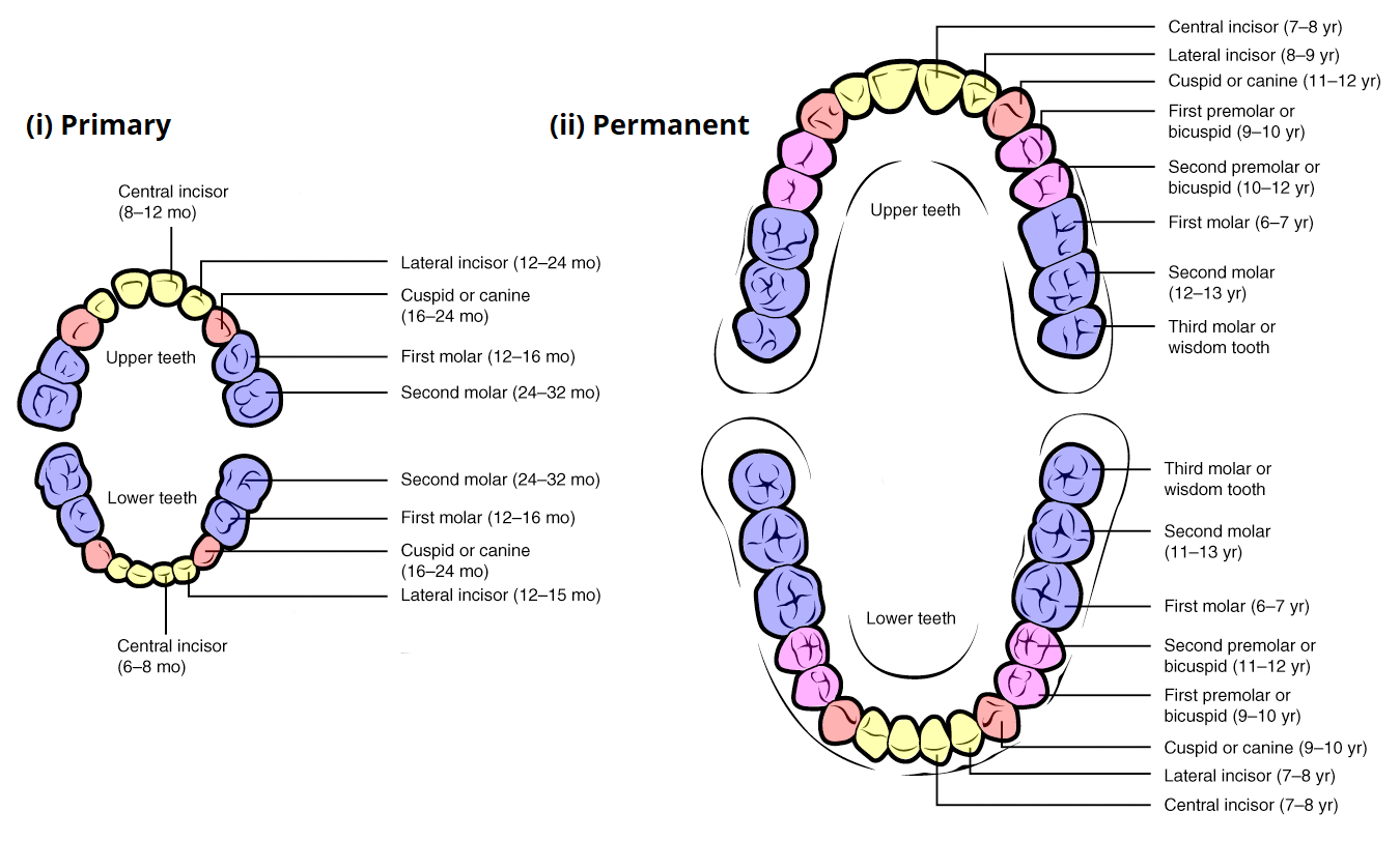 Child And Adult Dentition Teeth