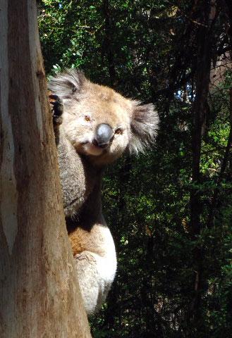 koala_hello