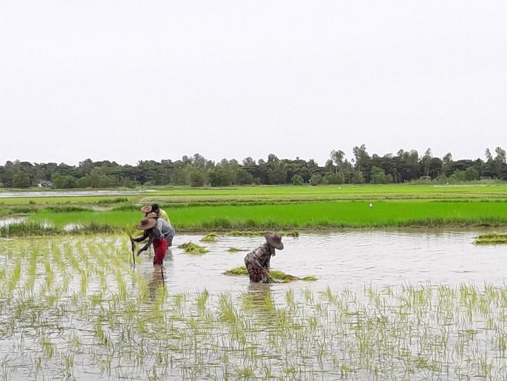 Khine Zin Yu Aung - image 2; Women thinning out the rice seeds in Myin Ka Kone Village, Mawlamyinekyun Township, Ayeyarwaddy Region