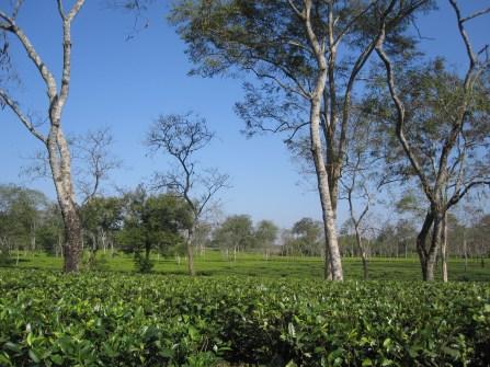 Tea estates
