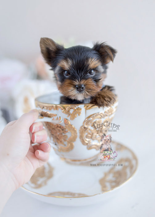 Toy Or Teacup Yorkies For Sale Teacups Puppies Amp Boutique