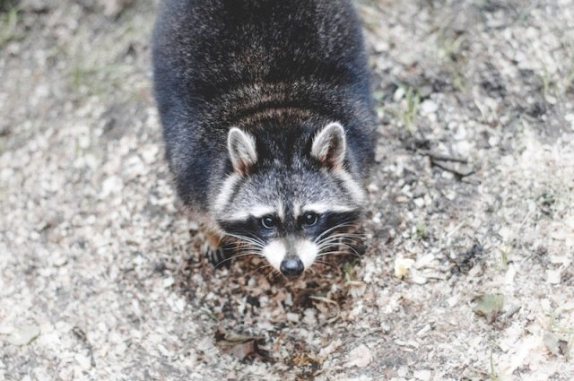 MPR Raccoon and the Bodhisattva Way
