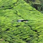 Sungai Palas Tea Garden
