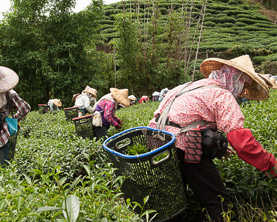 Taiwan high-mountain wulong tea pickers
