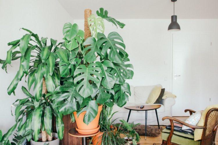 mosntera indoor plant