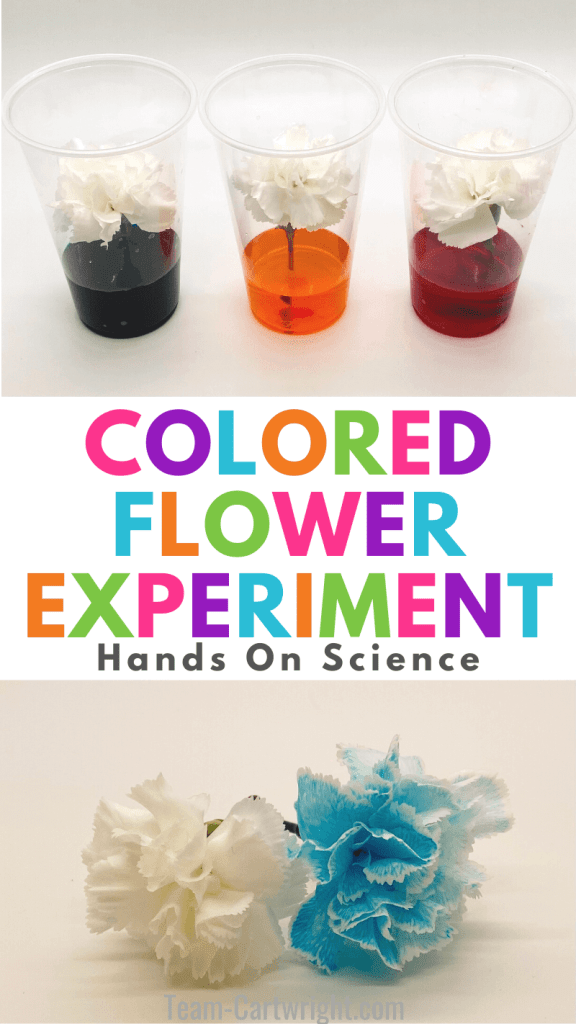 text: Colored Flower Experiment Hands on Science. Top Picture: 3 cups with colored water and white carnations. Bottom picture: white carnation and blue carnation dyed from the experiment