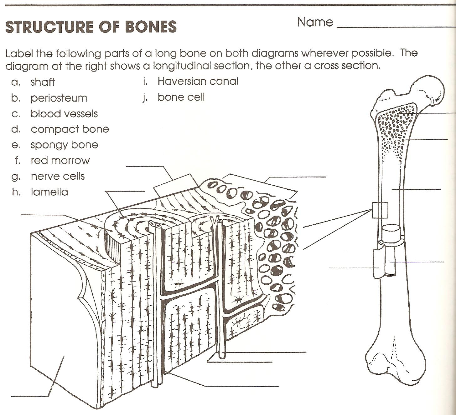 Bones Worksheet Anthropology