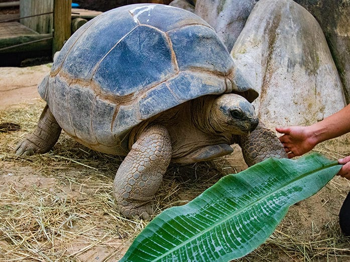 tortue seychelles tortue aldabra ferme aux crocodiles