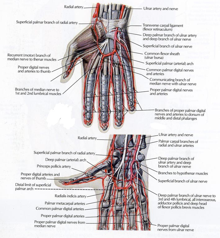 The Distribution Of Ulnar Nerve In Arm And The Hands