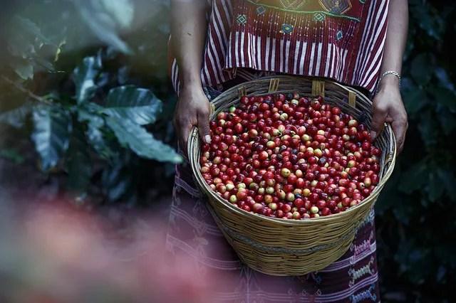 摘みたてのコーヒー豆