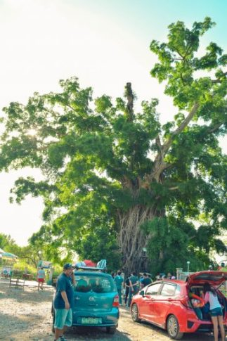baler giant tree