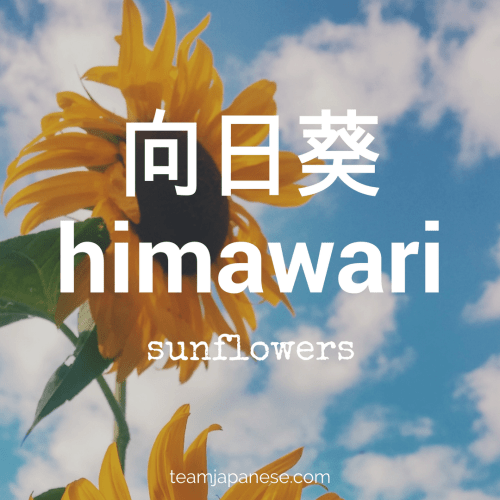 himawari - Japanese for sunflower. Sunflowers are symbols of summer in Japan. For more essential Japanese summer words, head to Team Japanese!