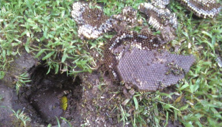 How to Get Rid of Ground Dwelling Yellow Jackets 2