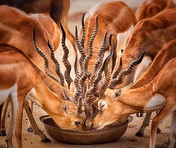 cool photo of group of antelope eating from bowl