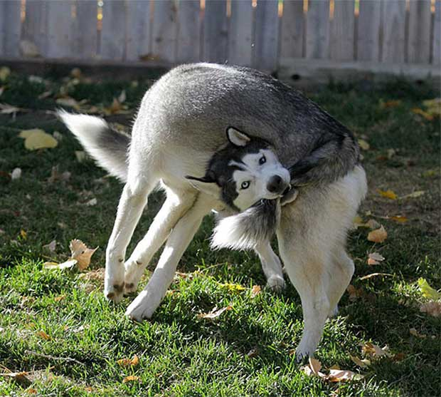 Crazy pic of dogs biting tail ~ 35 Funny Pics & Memes