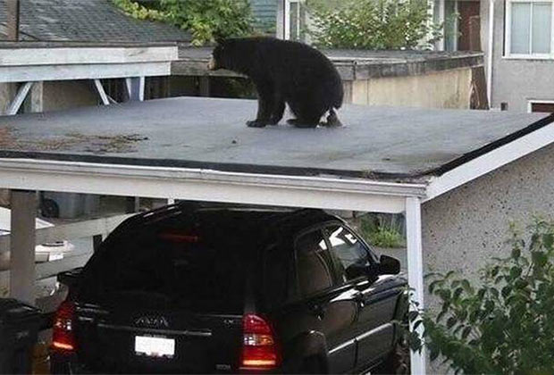 Nope. A bear doesn't shit in the woods. He takes a healthy dump on your garage.