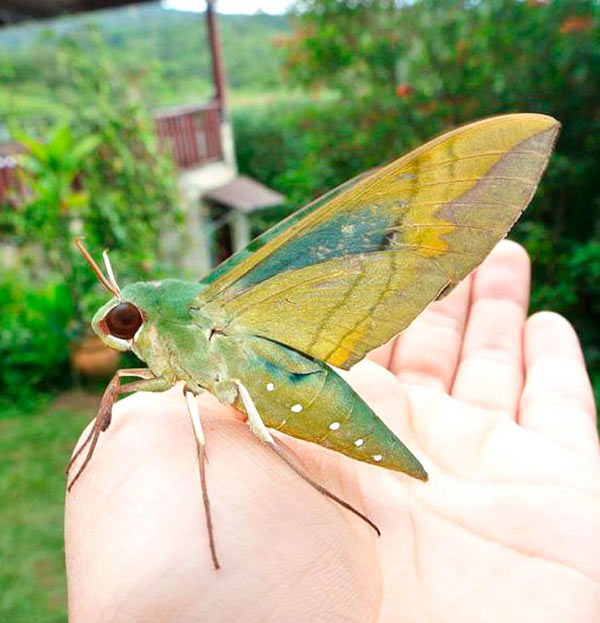 Yikes! That's one big giant moth! ~ Funny pics & memes