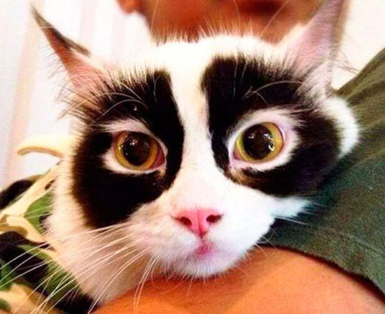 Crazy beautiful white cat with with black patches around the eyes
