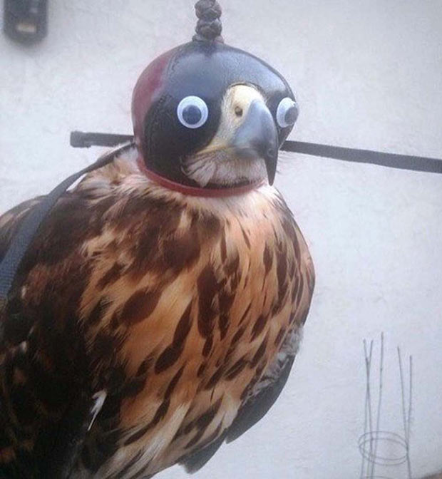 Funny pic ~ falcon in mask with google eyes