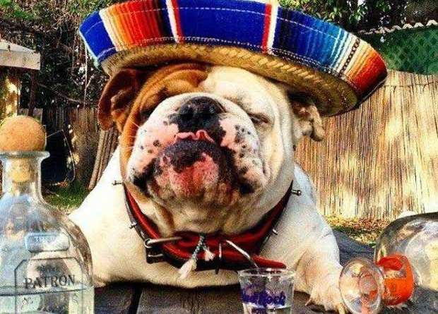 Bulldog in sombrero drunk on Tequila ~ Funny Pics & Memes