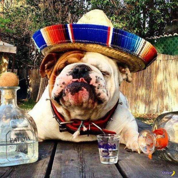 Bulldog in sombrero drunk on Tequila ~ Funny Pics & Memes