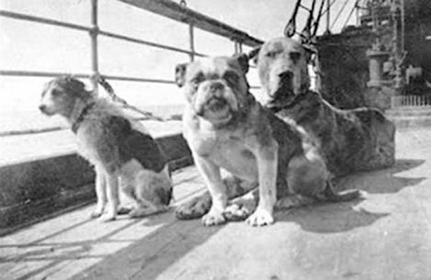 Only first class passengers were allowed to bring dogs aboard the Titanic. Only three survived. The three pictured here all perished. The Fox Terrier on the left was owned by William Dulles. The French Bulldog (center), owned by William Daniels was last seen swimming. The Great Dane died with her owner Anne Elizabeth Isham.