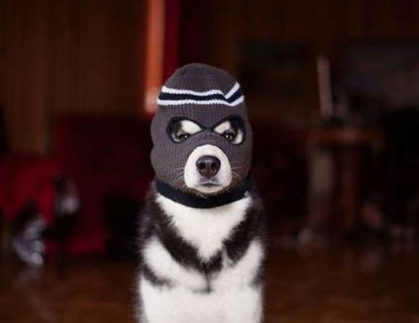 Not sure if that dog's cold or about to rob a 7/11 ... ~ funny pics, funny memes dog in ski mask
