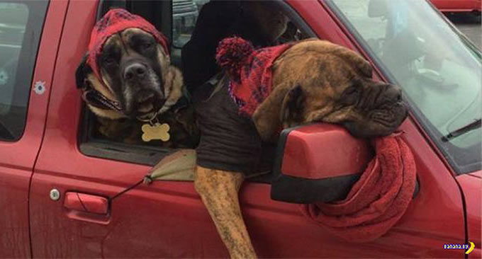 funny dogs leaning out car window when you just can't even