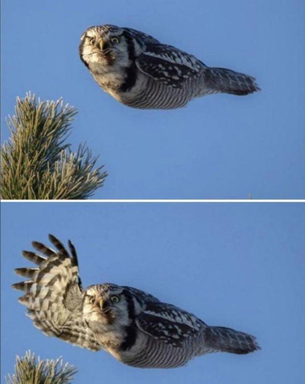 35 Funny Memes and Pics Ya Gotta See ~ funny animals flying owl waving