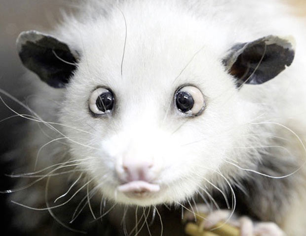 35 Funny Memes and Pics of Humor Galore ~ cross-eyed possum