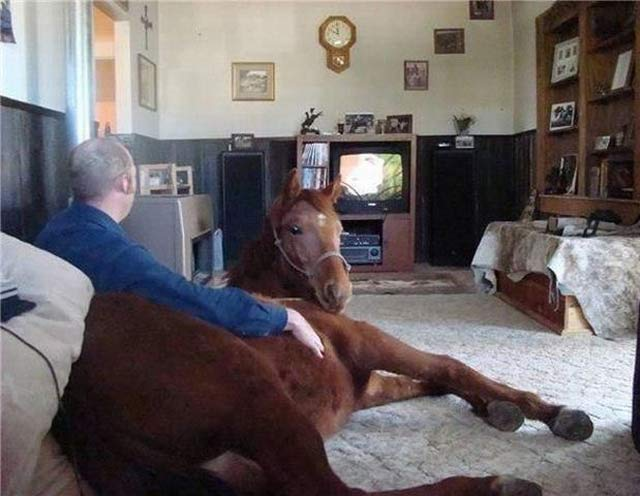 31 Funny Awkward Family Photos ~ man with horse watching tv in living room