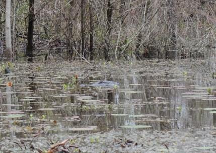 ...ahhh, da ist ja der Alligator