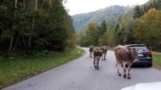 Kühe auf der Straße...