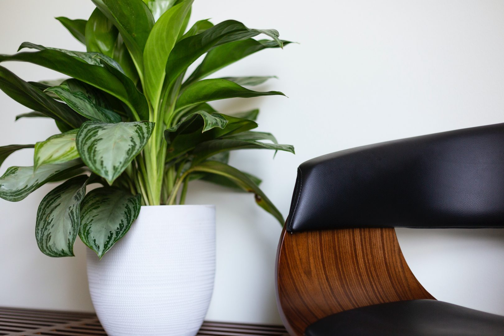 potted dumb cane plant near furniture