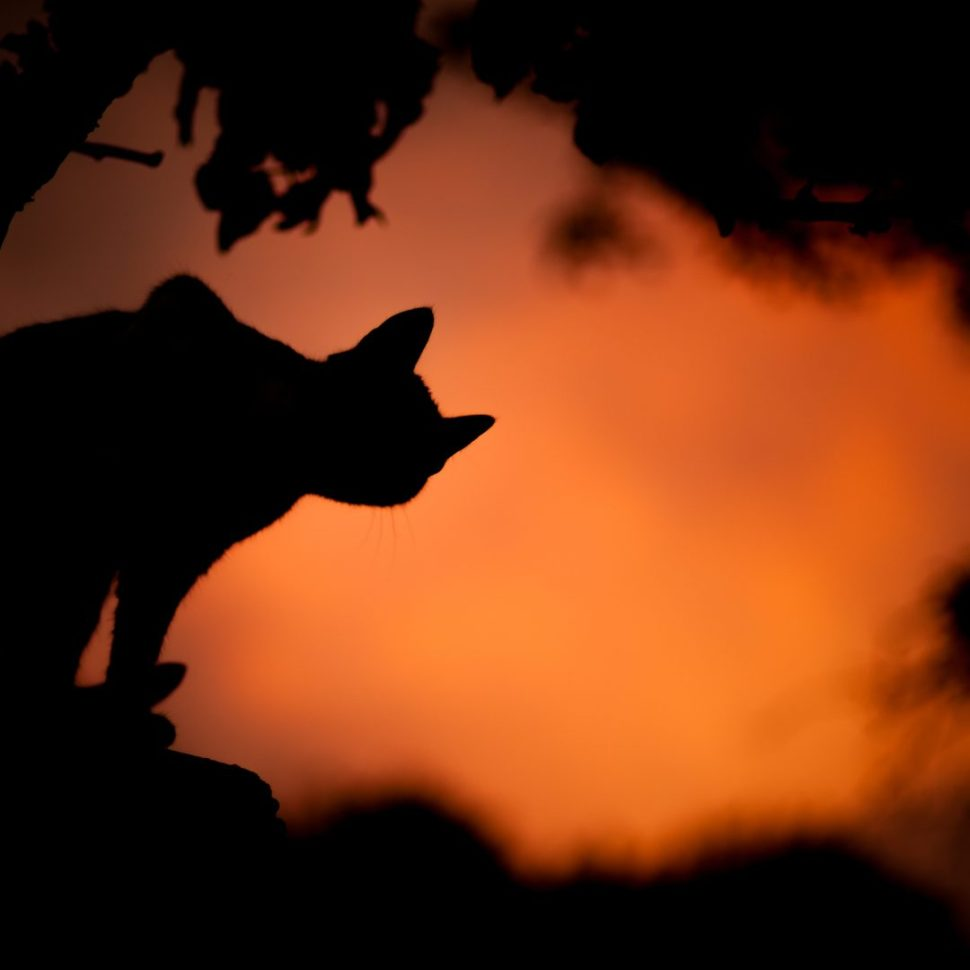 silhouette photo of a cat