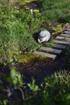 A brave marmot.